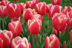 Fosteriana Tulip 'Pirand'