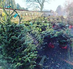 Fun morning choosing a real Christmas tree for the garden