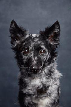 Mudi Dog by Ty Foster