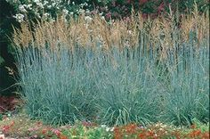 Indiangrass, Sorghastrum nutans