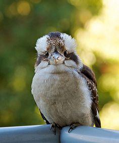 Kookaburra(VirtualWolf) Bird Pictures, Bird Species, Bird Feathers, Beautiful Birds, South America, Natural Beauty, Cute Animals, Tweet Tweet, 1