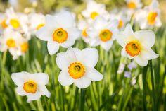 Weiße Osterglocken auf der Blumeninsel Mainau