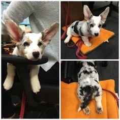 Corgi cuteness alert! Meet Martha, our new Corgi Claims Admin!