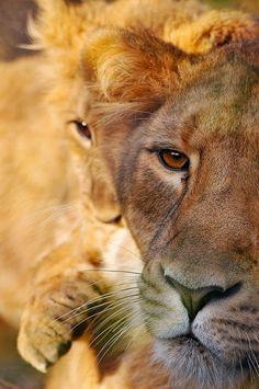 Lion Eyes. Beautiful.