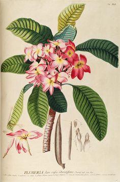 Plantae selectae quarum imagines ad exemplaria naturalia Londini, by Georgius Dionysius Ehret ... ; 1750