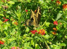 Tiger Swallowtail eating Texas lantana. They love mud puddles to suck minerals out of the soil. Butterflies need water too!