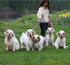 "clumber spaniels! :) From your friends at phoenix dog in home dog training""k9katelynn"" see more about Scottsdale dog training at k9katelynn.com! Pinterest with over 18,900 followers! Google plus with over 123,000 views! You tube with over 400 videos and 50,000 views!! Serving the valley for 11 plus years"
