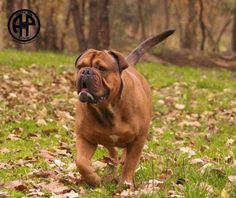 Continental Bulldog, Olde English Bulldogge, Bulldog Breeds, Bully Dog, Bullies, Puppy Love, Pride, Spiritual, Future