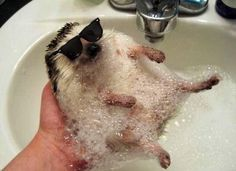 Here is a soapy hedgehog chillin in sunglasses...