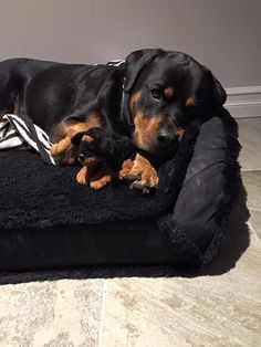 """Click visit site and Check out Cool """"Rottweiler"""" T-shirts. This website is superb. Tip: You can search """"your name"""" or """"your favorite shirts"""" at search bar on the top."""