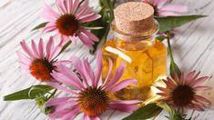 Pěstujte echinaceu! Tahle rostlina s purpurovými kvítky může rozhodnout o vašem zdraví nebo nemoci