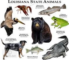 Louisiana State Animal | Louisiana State Animals full color illustration (click image to ...