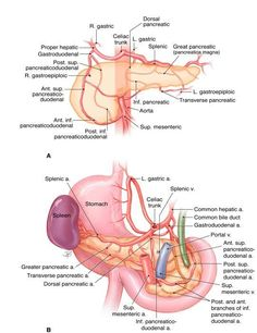 Anatomy and Histology of the Pancreas | The Pancreapedia