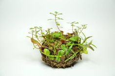 Wabi-Kusa Plant Ball. This link explains the Japanese art form of Wabi Kusa very well.