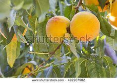 A pair of orange peaches (Prunus persica) in a tree.