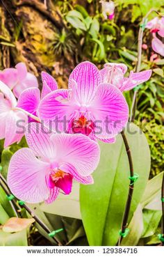 Beautiful purple orchids in garden - stock photo