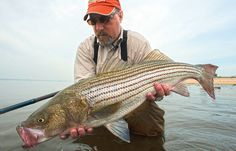 Have a Cow A New Jersey striper goes back into the salt. Photo by Bill Lindner Early summer. You're on a family getaway somewhere from Delaware to Cape Cod. You know the drill: kids covered in sand, overpriced dinners, miniature golf. But if you choose your sneak-away times carefully, you'll have a shot at a 40-plus-pound striper from the beach with minimal effort. While the spring migration is just wrapping up in the southern part of its range, you'll be in the thick of it here. Follow this…