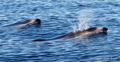 Here are 2 Pacific White Sided Dolphins just hitting the surface for a breath