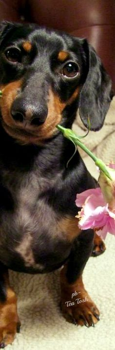 A Dachshund Valentine's Day All Dogs, Dogs And Puppies, Puppy Pictures, Puppy Pics, Some Bunny Loves You, Dog Pin, Dogs Of The World, Little Dogs, Make You Smile