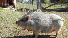 babe our pot bellied pig