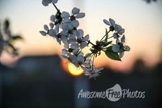 Free Stock Photo for Commercial Use - Cherry Blossom Sunset