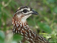 Francolin, Crested | EBEDES BIRDS South African Birds