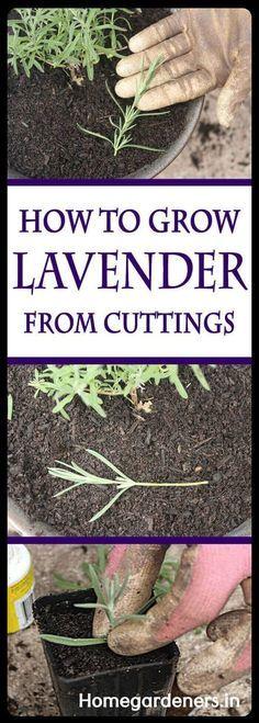 Growing Lavender Indoors, Growing Herbs, Growing Vegetables, Organic Gardening, Gardening Tips, Indoor Gardening, Kitchen Gardening, Gardening Quotes, Gardening Vegetables