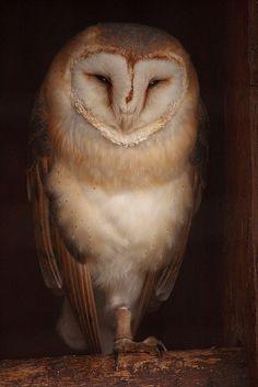 hearted barn owl
