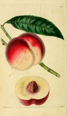 The Royal George Peach - Lindley, John, 1799-1865