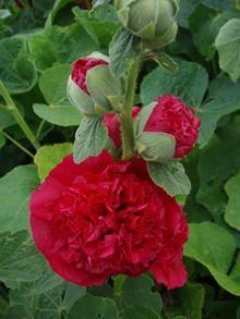 ALCEA rosea 'Pleniflora' Rød (Althaea) - Stokrose (MS)