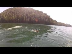 Crazy - cougar caught swimming at a great clip in the ocean off of Vancouver Island!