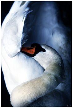 Swan lake by zardo.deviantart.com