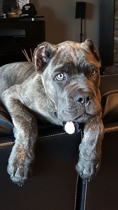 """The breed is commonly referred to as the """"Mastiff"""". Also known as the English Mastiff this giant dog breed gets known for its splendid, good natu Cane Corso Italian Mastiff, Cane Corso Mastiff, Cane Corso Puppies, Cane Corso Dog, Big Dogs, Dogs And Puppies, Doggies, Dog Barking Video, Boxer Bulldog"""