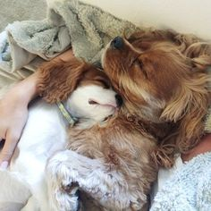 Lady and Lou - Adorable Cavalier King Charles Spaniel Dog Sleeping Beauties. Cavalier King Spaniel, Cavalier King Charles Dog, Spaniel Dog, King Charles Spaniel, Cute Puppies, Cute Dogs, Game Mode, Pet Sitter, Beautiful Dogs