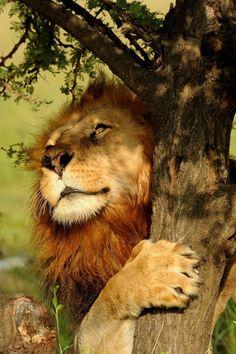 Lion by Diego Fernandez Gabaldon.