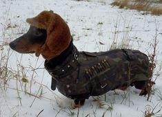 Dachshund in hunting gear!