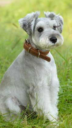 Best representation descriptions: Miniature Schnauzer Grooming Related searches: Schnoodle Face Grooming,Schnoodle Grooming Styles,Schnoodl. Schnauzer Cut, Schnauzer Breed, Schnauzer Grooming, Standard Schnauzer, Schnauzers, Puppy Haircut, Snauzer Haircut, Miniature Schnauzer Black, Dog Grooming Styles