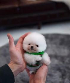 Animal animals pet dogs dog puppy puppies cute aww a adorable micro teacup pomeranian puppies ack registered text us text 352 340 3058 bitte Baby Animals Super Cute, Cute Little Animals, Cute Funny Animals, Funny Dogs, Cute Cats, Cute Little Puppies, Cutest Animals, Funny Babies, Cute Puppy Videos