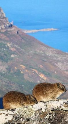 Dassies on Table Mountain are a close relative to elephants due to their unique feet. Cape Town - On the finest all year round Nordic Walking Peninsula in the World Le Cap, Cape Town South Africa, Table Mountain, My Land, Places Of Interest, Belleza Natural, Fauna, Nature Animals, Africa Travel