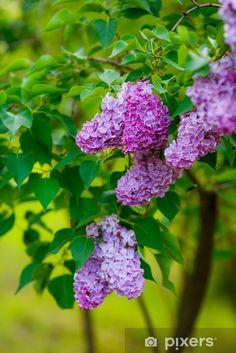 Fotomural Arbustos de lilas. flores de cerca • Pixers® - Vivimos para cambiar Cauliflower, Vegetables, Plants, Inspire Others, Shrubs, Pretty Images, Vinyls, Flowers, Cauliflowers