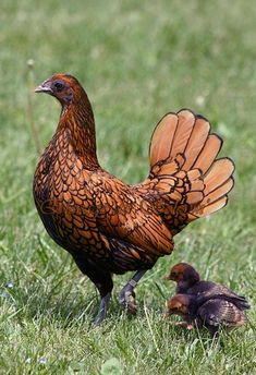 Golden Sebright Chicken