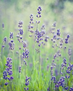 Lavender by chamillewhite on Creative Market