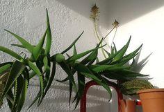 Meine riesen Aloe Vera Aloe Vera, Plants, Pictures, Flowers, Plant, Planets