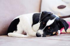 I need a nap! Meet Bølle, my parents' Danish Swedish Farmdog