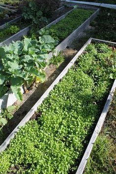 mustard cover crops