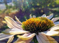 Coneflower basking in the sun