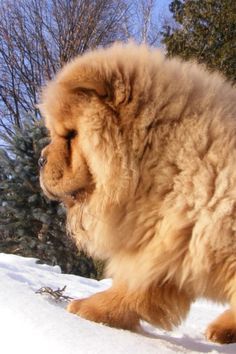 So glad my chow doesn't have crazy fur like this! I'd go broke from groomers fees.
