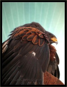 harris hawk in hand