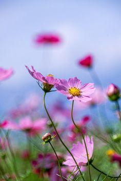 Cosmos flowers | 開田高原 コスモス 2014:09:06 11:26:53 2014年秋の撮影です。 | Shinichiro Saka | Flickr