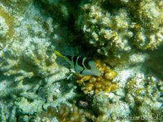 Pequeño pez globo, Lady Elliot Island